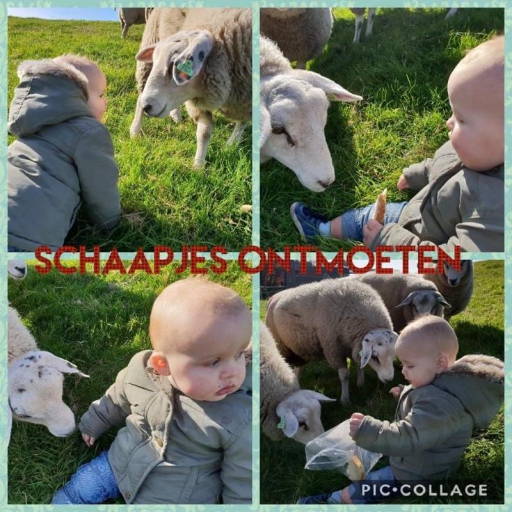 schaapjes ontmoeten